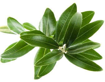 How Much Olive Leaf Extract Do You Need To Take To Cure Herpes And For